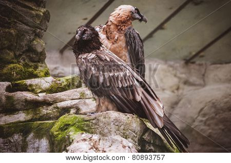 Pare Of Vulture Birds Siting