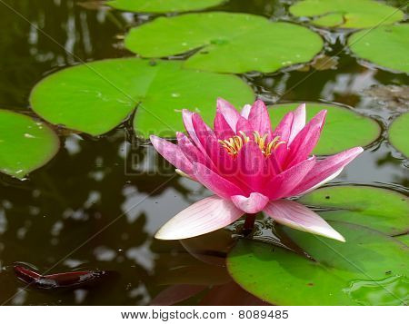 Red Water Lily Lotus Flower And Green Leaves