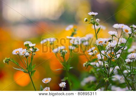 flowers daisies on a bright background