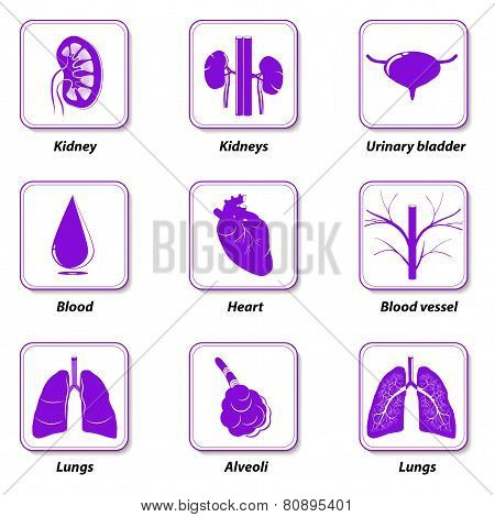 Icons Internal Human Organs For Infographic