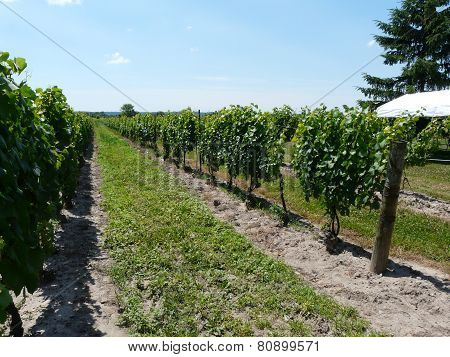 Rows of grapevines