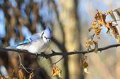picture of blue jay  - Blue Jay in winter - JPG