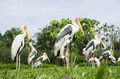 stock photo of low-necked  - Close up view of stork in the garden - JPG