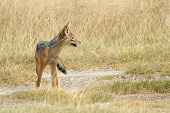 stock photo of jackal  - A black - JPG