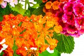 image of lantana  - beautiful background of colorful Lantana camara flower with dew closeup - JPG