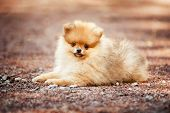 stock photo of miniature pomeranian spitz puppy  - Small Pomeranian puppy lying on the ground