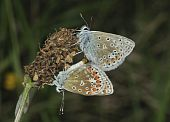stock photo of ribwort  - Pair of Common Blue Butterflies  - JPG