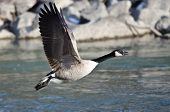 pic of canada goose  - Canada Goose Taking Off From a River - JPG