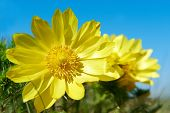 pic of adonis  - Yellow flowers  - JPG