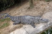 stock photo of enormous  - The enormous crocodile is sleeping near the water - JPG