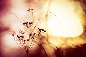 stock photo of wildflowers  - Silhouette of dry wildflower in meadow during sunrise