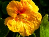 picture of nasturtium  - A close - JPG