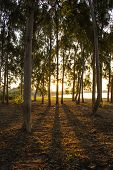 stock photo of row trees  - The Shadows trees sun reflections dawn - JPG