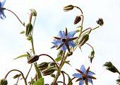 stock photo of borage  - Borage flowers  - JPG