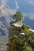 picture of stubborn  - A lone pine tree stubbornly grows on an exposed rocky outcrop overlooking the vast Grand Canyon National Park in Arizona USA - JPG
