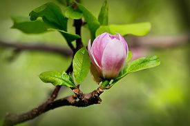 stock photo of saucer magnolia  - A bud of magnolia just ready to burst spring background