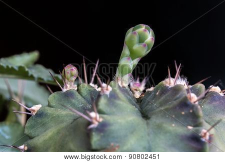 Close Up Of Budding Gymnocalycium Cactus Flower
