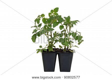 Cherry Red Hybrid Tomato Plant in tray