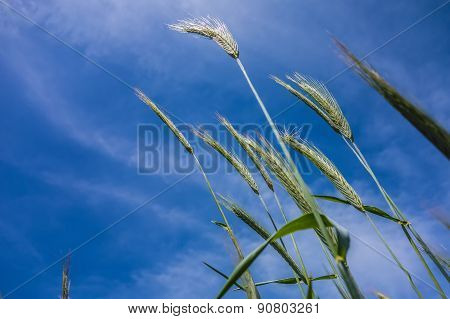 Looking Up At Blue Sky And Grass In Foreground