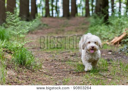 Havanese Dog Playing In The Woods