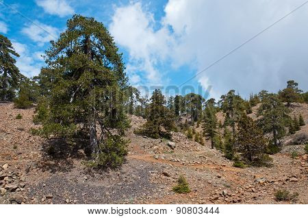 Huge lonely old pine on the trail high in Troodos Mountains.