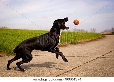 Energetic black dog reaching for orange ball