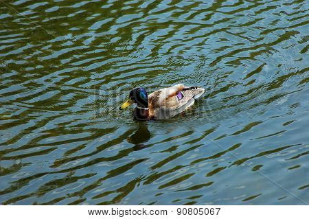 The wild duck in the water