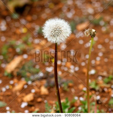 Spring Dandelion Blow Ball