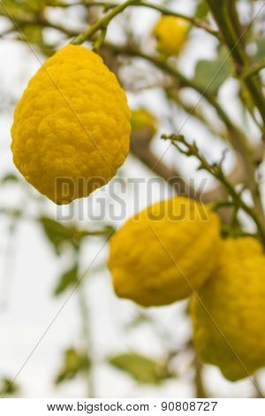 Italy: Lemons On The Tree