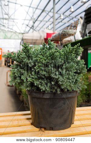 juniper scaly