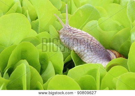 Snail in lettuce