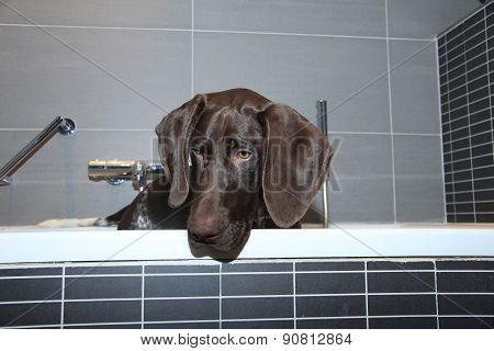 German Shorthaired Pointer In A Bathtub