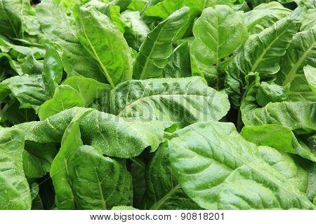 sliverbeet grow in vegetable garden