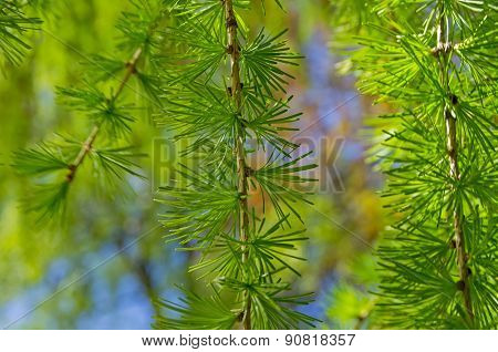Closeup Of A Sprig Of European Larch.