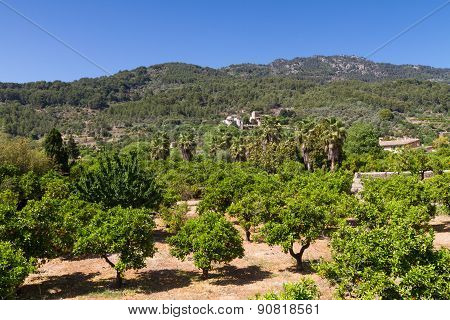 Orange Tree Orchard At Fornalutx