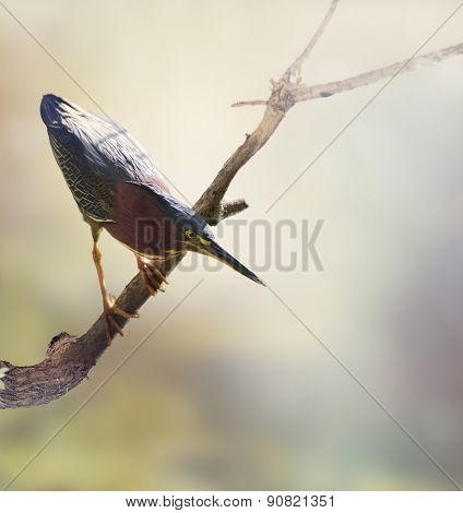 Green Heron Perches on a Branch