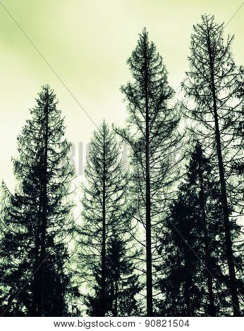 Spruce Trees, Black Silhouettes, Green Toned Photo