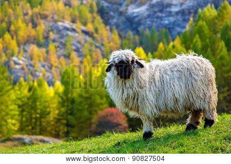 Valais Blacknose Sheep In  Alps