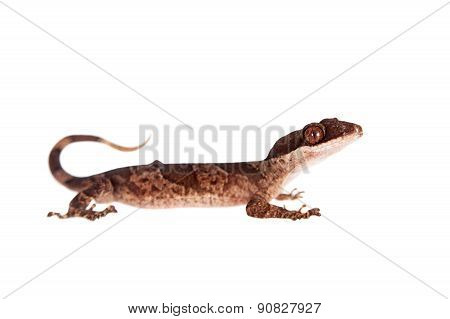 Bow-fingered gecko, Cyrtodactylus irianjayaensis, on white