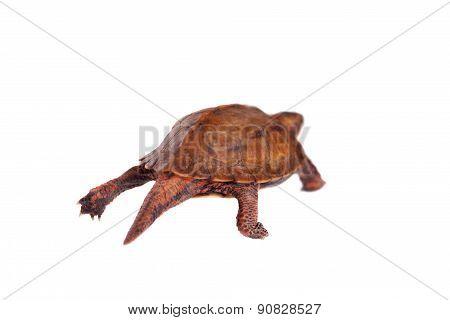 The Ryukyu leaf turtle, Geoemyda japonica, on white