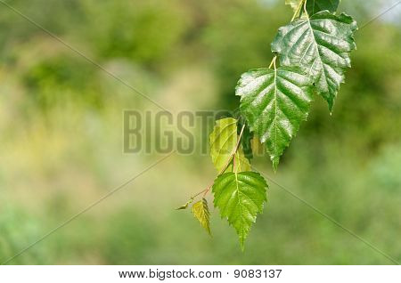 Leaves Of Birch In Deep Forest