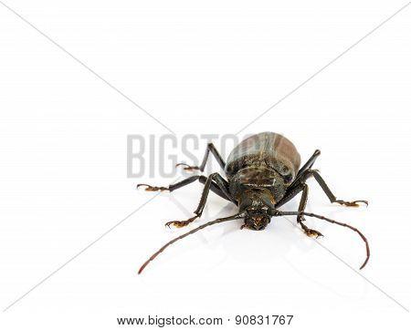 Long Horn Beetles.