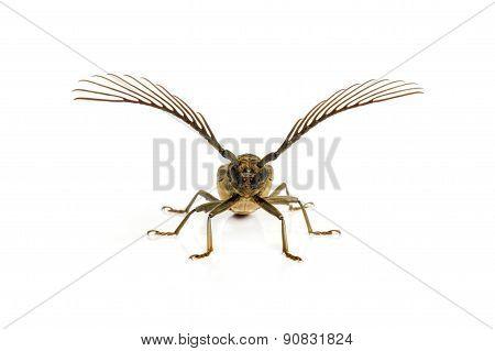 Long  Horn Beetles .