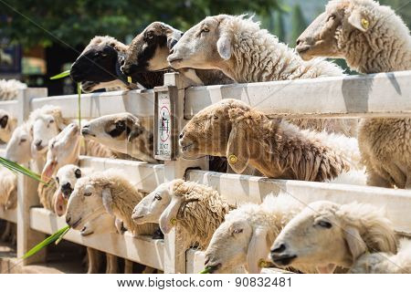 Sheep In Farm At Ratchaburi, Thailand