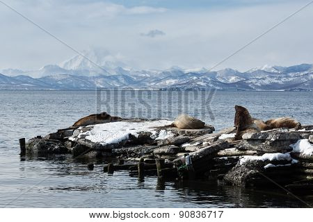 Rookery Steller Sea Lion Or Northern Sea Lion. Avacha Bay, Kamchatka