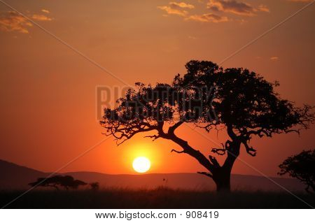 Acacia Tree At African Sunset