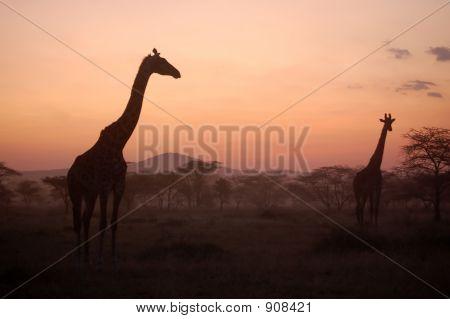 Giraffes At African Sunset