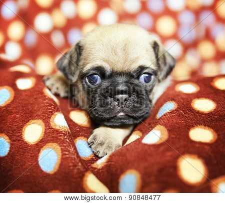 a cute chug pug puppy in a polka dot blanket looking at the camera