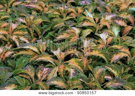 Gorgeous background of Coleus plants