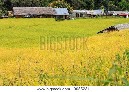 Paddy Green And Gold Rice Fields